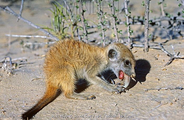 Baby Meerkat (Suricata suricata) eating gecko, Kalahari Gemsbok NP, South Africa  -  David Curl/ npl