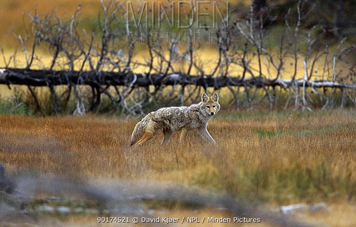Coyote (Canis latrans) Yellowstone NP, Wyoming, USA  -  David Kjaer/ npl