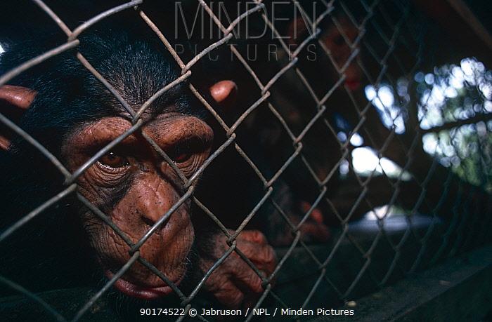 Young chimpanzee in cage (Pan troglodytes schweinfurthii) captive, Ituri RR, Congo Rep  -  Jabruson/ npl
