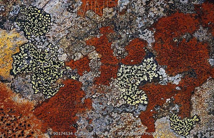 Crustaceous lichen (Rhizocarpon oederi) and (R geographicum) on rock Scotland, UK  -  Duncan McEwan/ npl