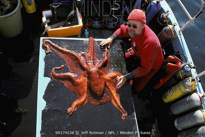 Giant pacific octopus being tagged (Octopus dofleini) British Columbia, USA  -  Jeff Rotman/ npl