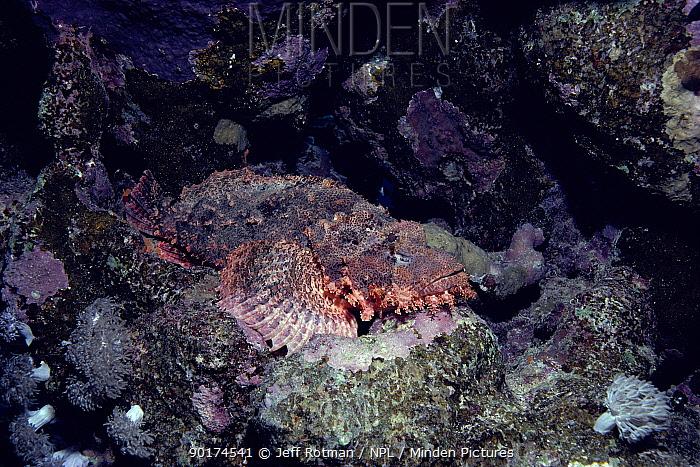 Tassled scorpionfish (Scorpaenopsis oxycephala) Red Sea  -  Jeff Rotman/ npl