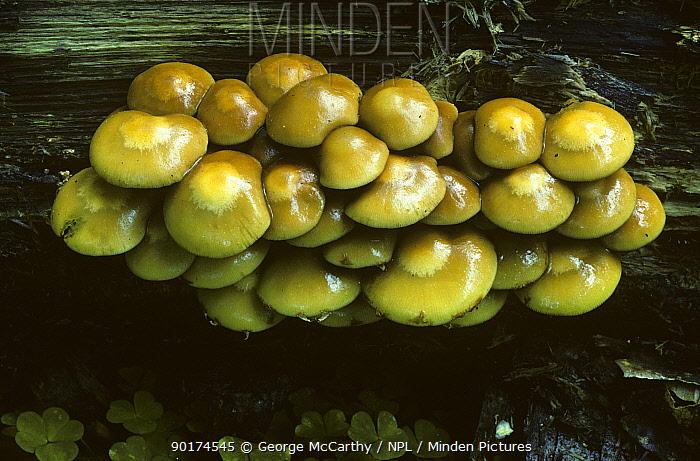 Changing pholiota (Pholiota mutabilis) UK  -  George Mccarthy/ npl