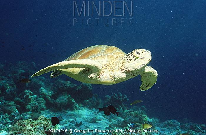Green turtle swimming (Chelonia mydas) Sipadan, Sabah, Malaysia  -  Georgette Douwma/ npl