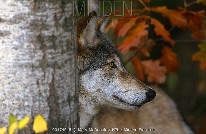Grey wolf portrait (Canis lupus) captive, Minnesota, USA  -  Mary Mcdonald/ npl