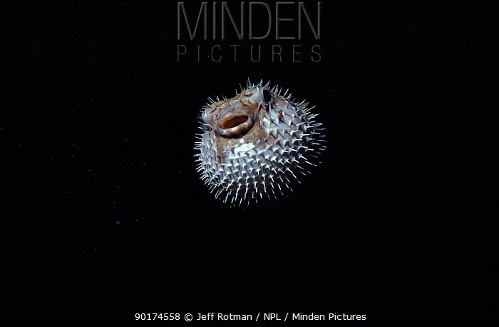 Black blotched porcupinefish inflated (Diodon liturosus) Palau Is, Micronesia  -  Jeff Rotman/ npl
