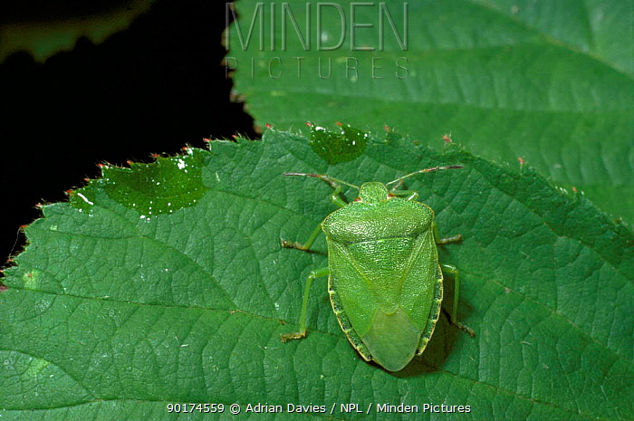 Green shield bug, Somerset (Palomena prasina) England UK  -  Adrian Davies/ npl