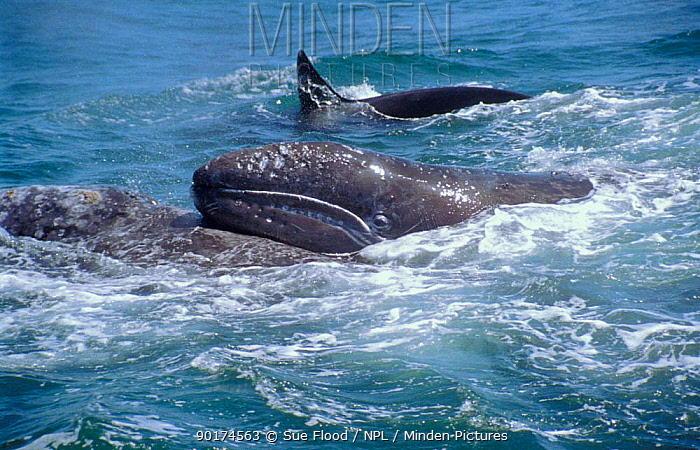 Grey whale mother lifts her calf as Killer whales attack (Eschrichtius robustus)  -  Sue Flood/ npl