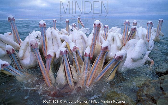 Eastern white pelicans group feeding (Pelecanus onocrotalus) Walvis Bay Namibia  -  Vincent Munier/ npl