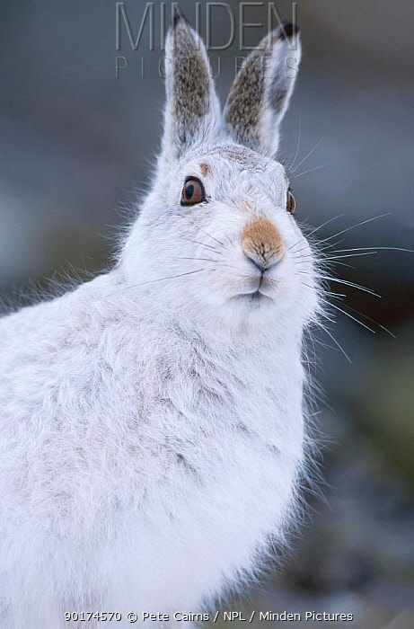 Mountain hare in winter coat (Lepus timidus) Strathspey, Scotland  -  Pete Cairns/ npl