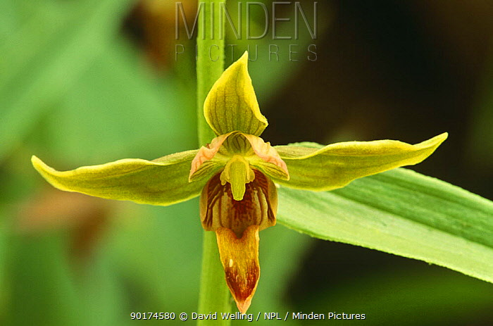 Stream orchid, Giant helleborine (Epipactis gigantea) California  -  David Welling/ npl