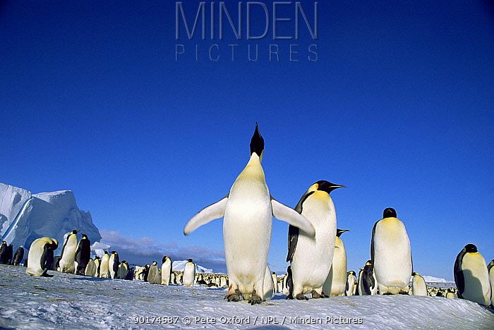 Emperor penguin rookery (Aptenodytes forsteri) Atka Bay, Weddell Sea  -  Pete Oxford/ npl