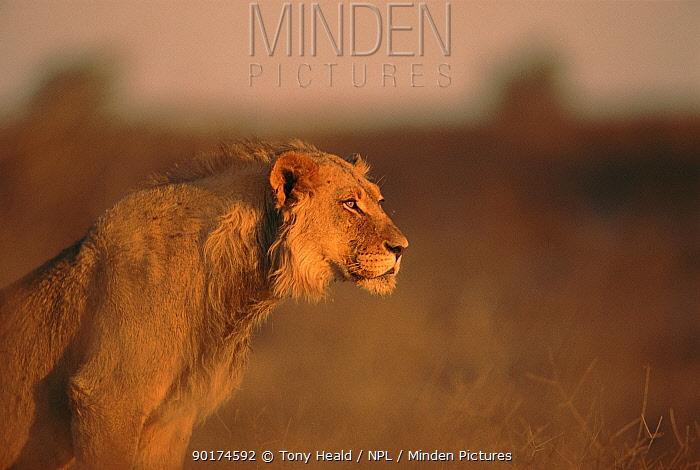 Young male lion, Kalahari Gemsbok NP, South Africa  -  Tony Heald/ npl