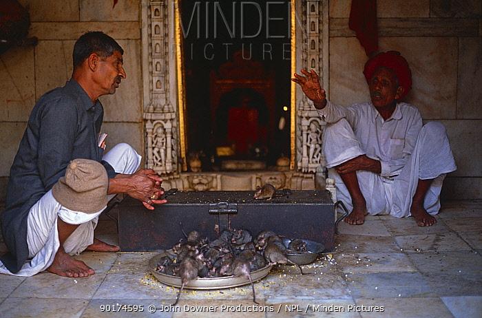 Black rats (Rattus rattus) feeding in inner sanctum, Karni Mata Temple Deshnok, Rajasthan, India  -  John Downer/ npl