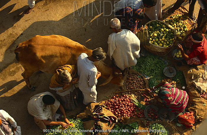 Cattle wandering through market, tolerated as holy animals, India  -  John Downer/ npl