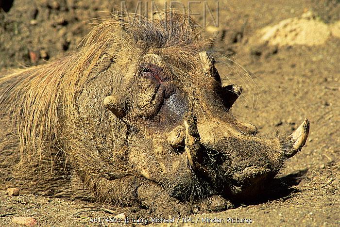 Male warthog sleeping in mud (Phacochoerus aethiopicus) Captive  -  Larry Michael/ npl