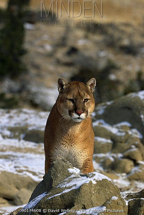 Puma (Felis concolor) on snow covered ground, captive, Montana, USA  -  David Welling/ npl