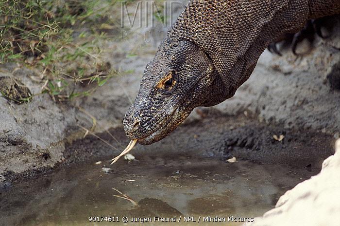 Komodo dragon drinking, Komodo Island, Indonesia  -  Jurgen Freund/ npl