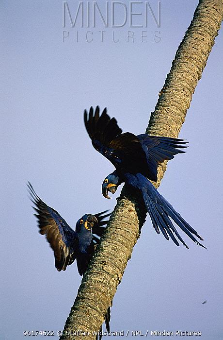 Two Hyacinth Macaws (Anodorhynchus hyacinthinus) Pantanal, Mato Grosso, Brazil  -  Staffan Widstrand/ npl