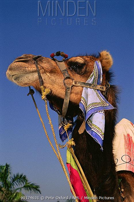 Dromedary camel (Camelus dromedarius) Rajasthan, India  -  Pete Oxford/ npl