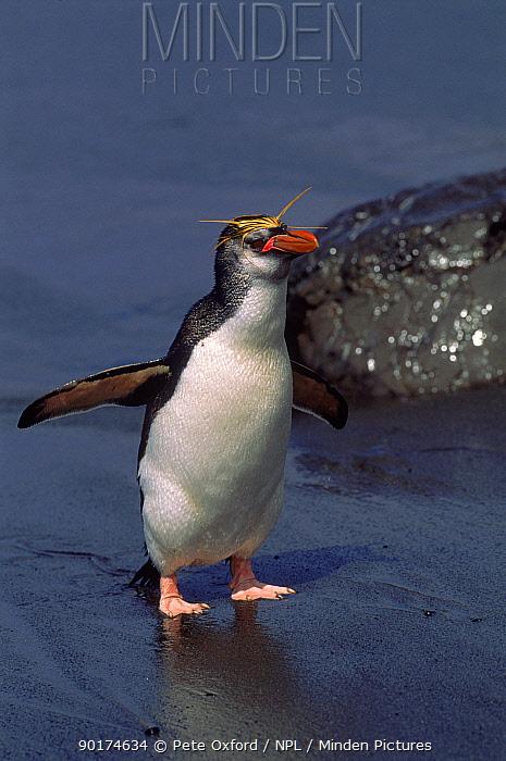 Royal penguin (Eudyptes schlegeli) Macquaire Island, Tasmania, Australia  -  Pete Oxford/ npl