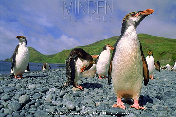Royal penguins (Eudyptes schlegeli) Sandy Bay, Macquarie Island, Tasmania, Australia  -  Pete Oxford/ npl