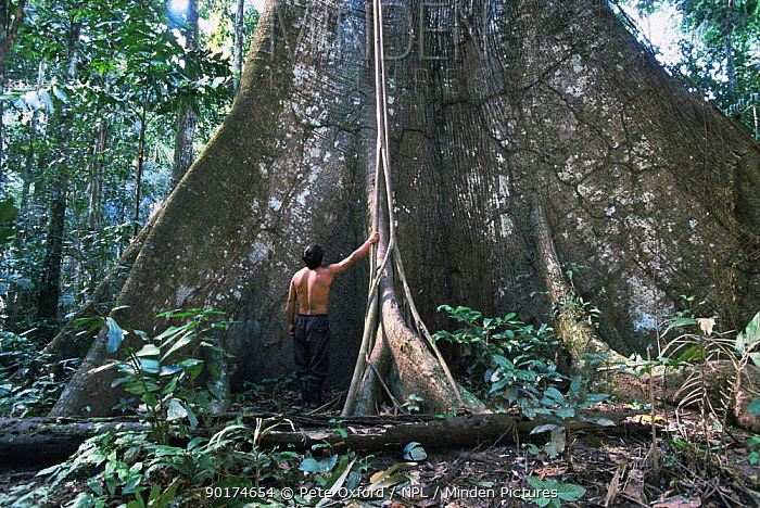 Man standing next to buttress roots of Kapok tree (Ceiba sp) Amazon, Peru, 1998  -  Pete Oxford/ npl