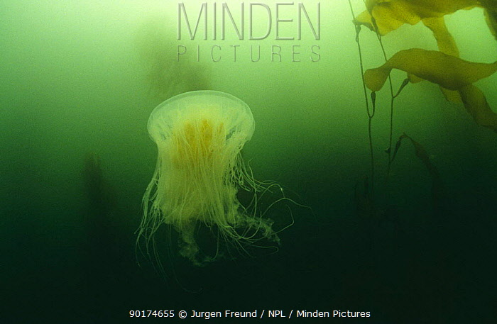 Lion's mane jellyfish in kelp forest (Cyanea capillata) Pacific, Canada  -  Jurgen Freund/ npl