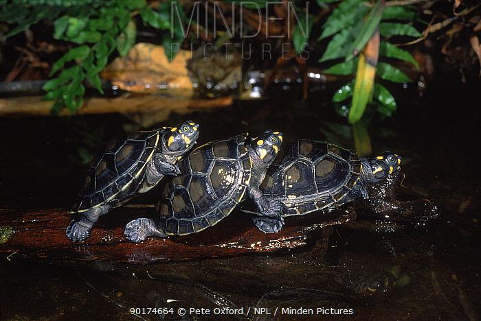 Side necked terrapins (Podocnemis unifilis) on log Amazonia, Ecuador, Central America  -  Pete Oxford/ npl