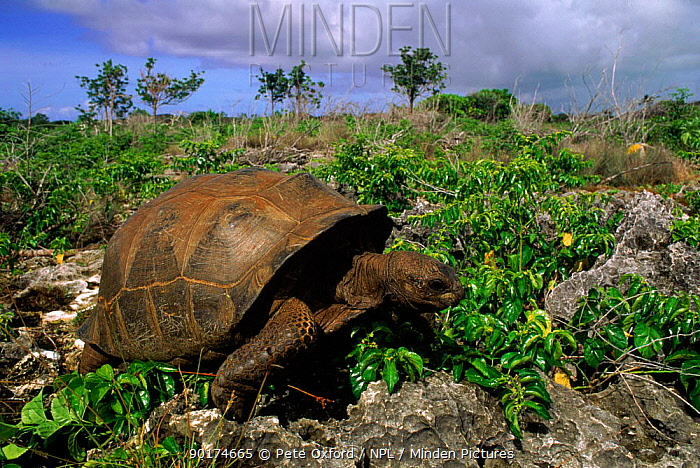 Aldabra tortoise (Geochelone gigantea) Picard Island, Aldabra Atoll, Seychelles  -  Pete Oxford/ npl
