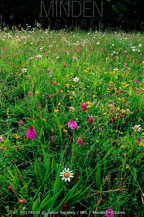 Wild flower meadow with Bird's foot trefoil, Pyramidal orchid, Clover and Dog Daisy Shropshire, England, UK, Europe  -  Jason Smalley/ npl