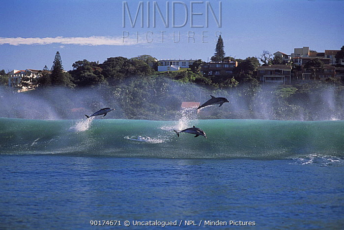 Bottlenose dolphins (Tursiops truncatus) surfing on coastal wave, Natal, South-Africa  -  Rod Haestier/ npl