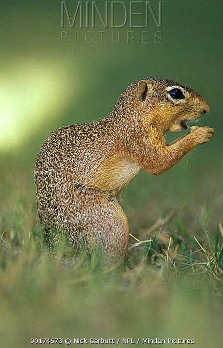 Unstriped ground squirrel feeding (Xerus rutilus) Tarangire NP, Tanzania  -  Nick Garbutt/ npl