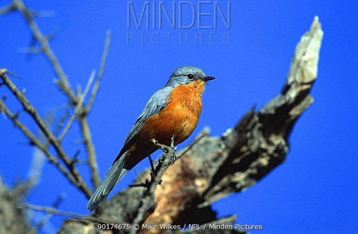 Silverbird (Empidornis semipartitus) Tanzania  -  Mike Wilkes/ npl