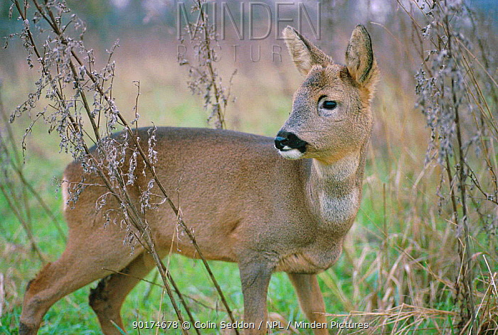 Roe deer female (Capreolus capreolus) UK  -  Colin Seddon/ npl