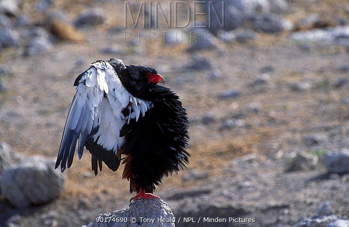 Bateleur eagle displaying (Terathopius ecaudatus) Etosha NP Namibia  -  Tony Heald/ npl