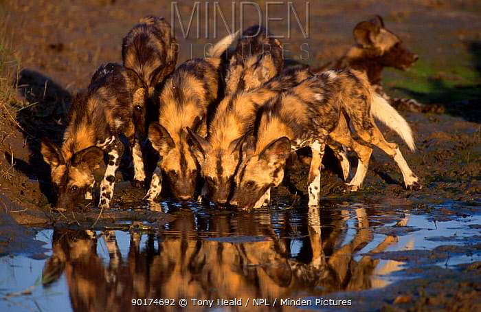 Young African wild dogs drinking (Lycaon pictus) Mana Pools NP Zimbabwe  -  Tony Heald/ npl
