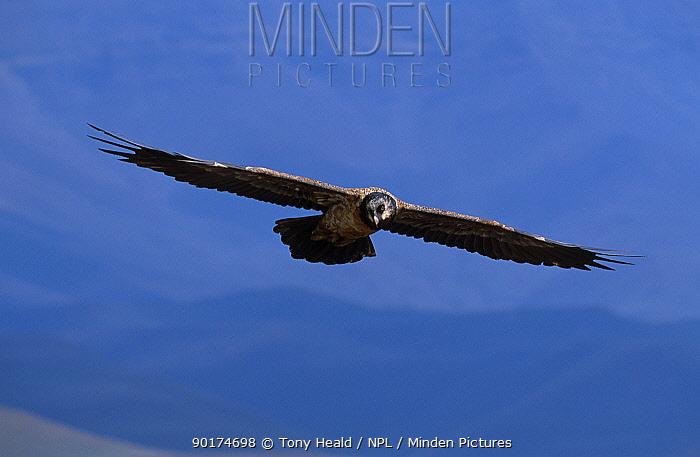 Lammergeier, bearded vulture flying (Gypaetus barbatus) juvenile Giants castle S Africa  -  Tony Heald/ npl