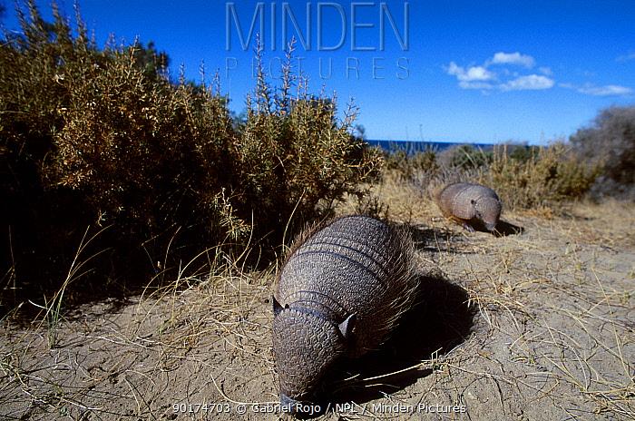 Hairy armadillo (Chaetophractus villosus) Valdez Patagonia Argentina  -  Gabriel Rojo/ npl