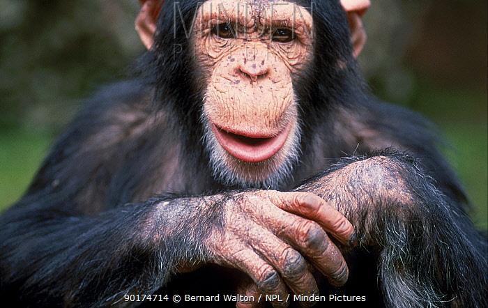 Young male Chimpanzee portrait facial expression (Pan troglodytes) C  -  Bernard Walton/ npl