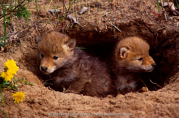 Coyote pups at burrow entrance (Canis latrans) captive from N America  -  Dave Watts/ npl