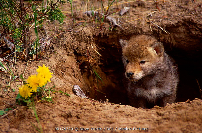 Coyote pup at burrow entrance (Canis latrans) captive from N America  -  Dave Watts/ npl