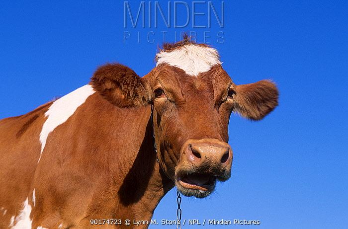 Domestic Guernsey cow chewing the cud (Bos taurus) USA  -  Lynn M. Stone/ npl