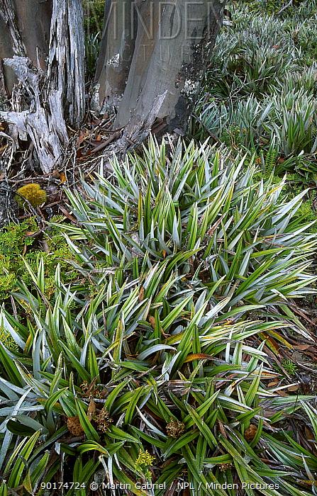 Pineapple grass (Astelia alpina) Mt Field NP, Tasmania, Australia 'alpine mosaic'  -  Martin Gabriel/ npl