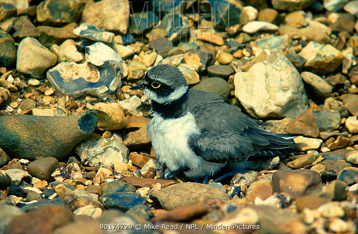 Little ringed plover male protecting young away from nest (Charadrius dubius) UK  -  Mike Read/ npl