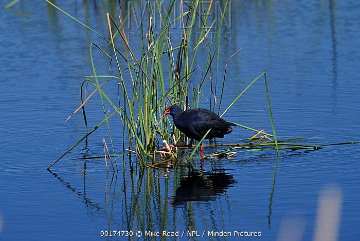 Purple swamphen (gallinule) (Porphyrio porphyrio) Algarve, Portugal  -  Mike Read/ npl