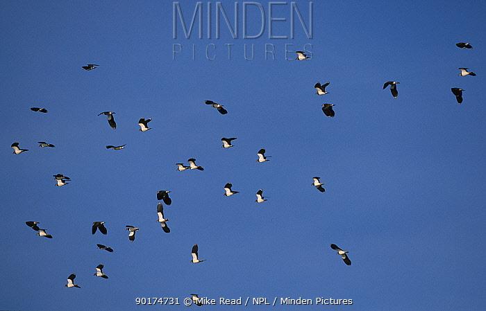 Lapwing flock in flight (Vanellus vanellus) Hampshire, UK Farlington marshes  -  Mike Read/ npl