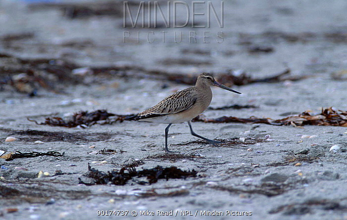 Bar tailed godwit on beach (Limosa lapponica) Brittany France  -  Mike Read/ npl