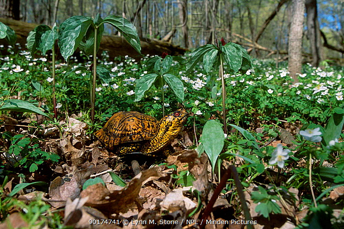 Eastern box turtle (Terrapene carolina carolina) amongst Wood anemones Michigan USA  -  Lynn M. Stone/ npl