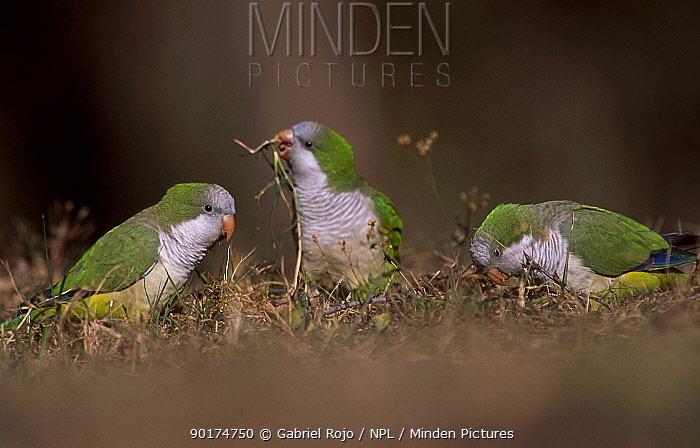 Monk parakeets feeding on ground (Myiopsitta monachus) La Pampa, Argentina Salinas  -  Gabriel Rojo/ npl
